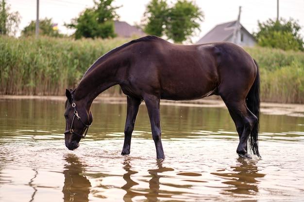 Il primo piano di un cavallo scuro beve l'acqua da un lago. cavalcata