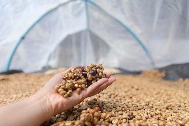 Il processo di essiccazione del caffè dopo la pelle e la polpa viene rimosso dal sole nella cupola in plastica