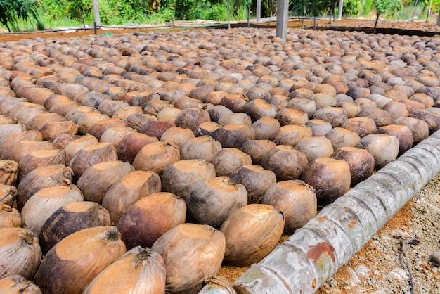Il profumo di cocco è la testa di taglio per le razze