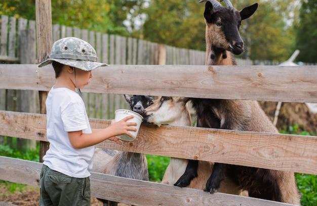 Il ragazzino con cura nutre la capra. prodotto ecologico in azienda.