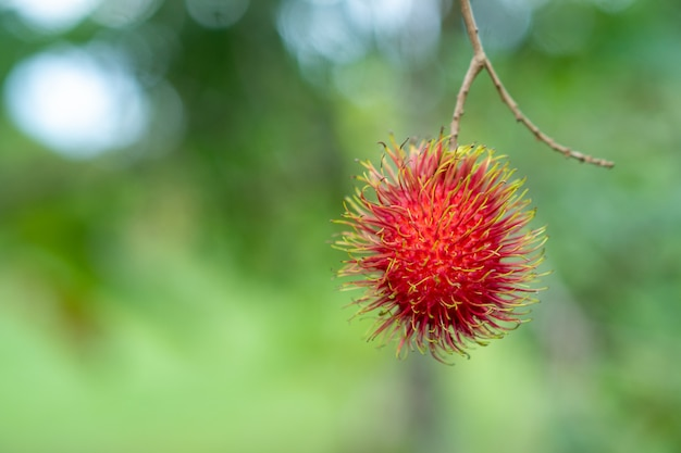 Il rambutan della scuola di nasarn è il rambutan più delizioso della thailandia