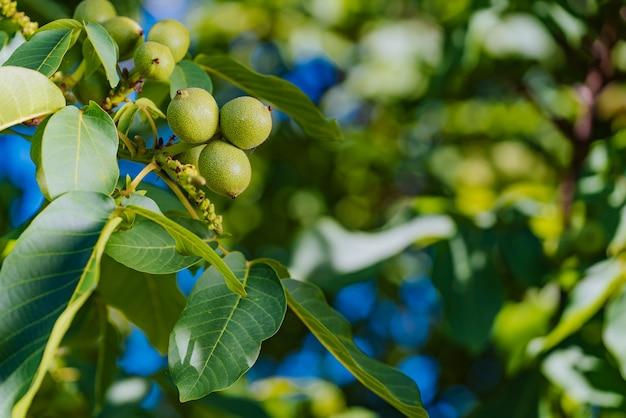 Il ramo è coperto con i frutti di noci acerbe