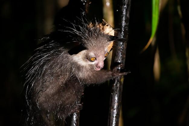 Il raro lemure aye-aye quando piove