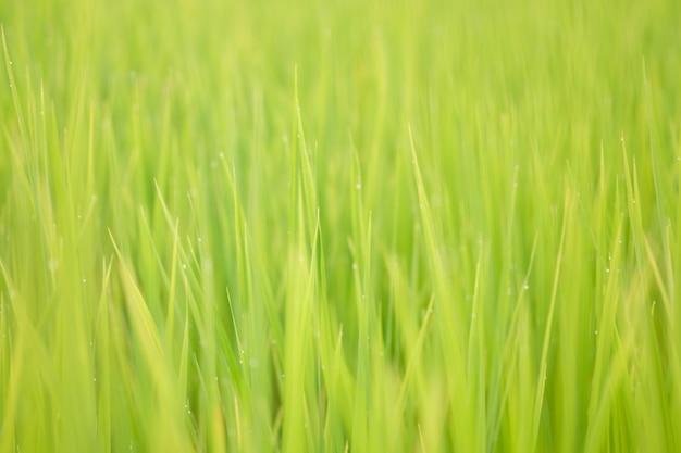 Il riso è la crescita nelle risaie