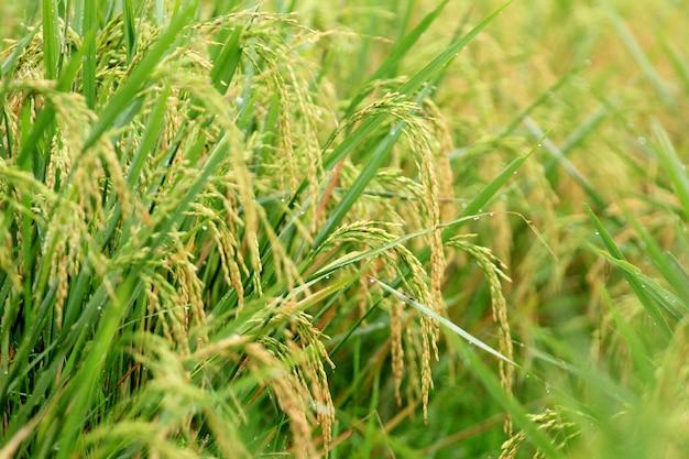 Il riso ingiallito è pronto per essere raccolto