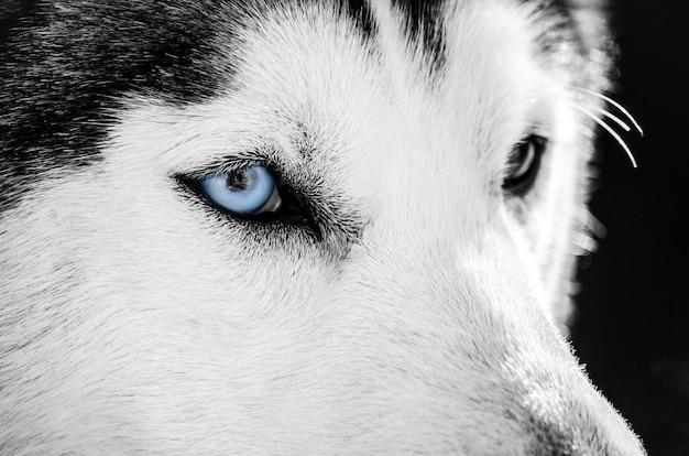 Il ritratto del cane del husky siberiano con l'occhio azzurro guarda a destra. il cane husky ha il colore del mantello bianco e nero.