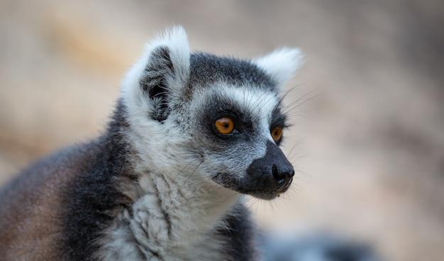 Il ritratto di un lemure dalla coda ad anelli in primo piano