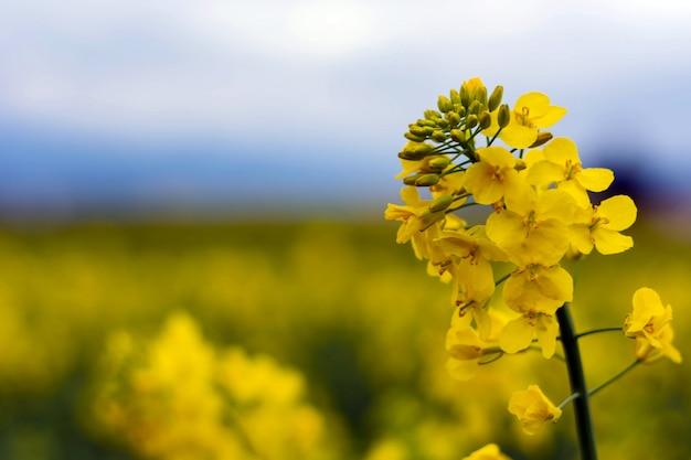 Il seme di ravizzone fiorisce ad un cielo blu con le nuvole bianche.