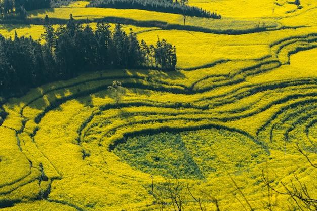 Il seme di ravizzone fiorisce al campo di luositian dell'azienda agricola della lumaca nella contea di luoping, cina