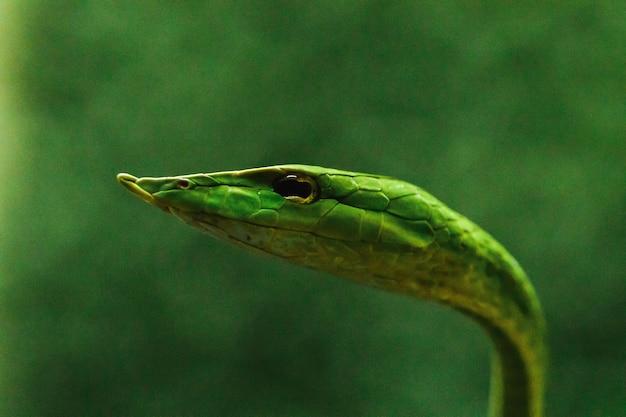 Il serpente a frusta dal naso lungo è una specie di serpente velenoso che vive gran parte della vita degli alberi