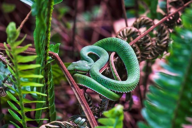Il serpente verde (trimeresurus sp.) è arricciato sull'albero della felce alla foresta.