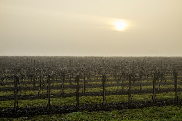 Il sole malato fatica a penetrare nel cielo grigio-bianco della fredda mattina invernale che avvolge la vigna addormentata