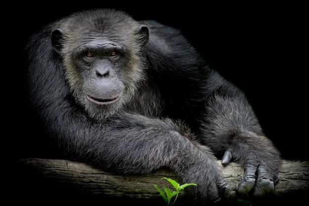 Il sorriso sveglio dello scimpanzè e cattura il grande ramo e guardi diritto a fronte lui su fondo nero