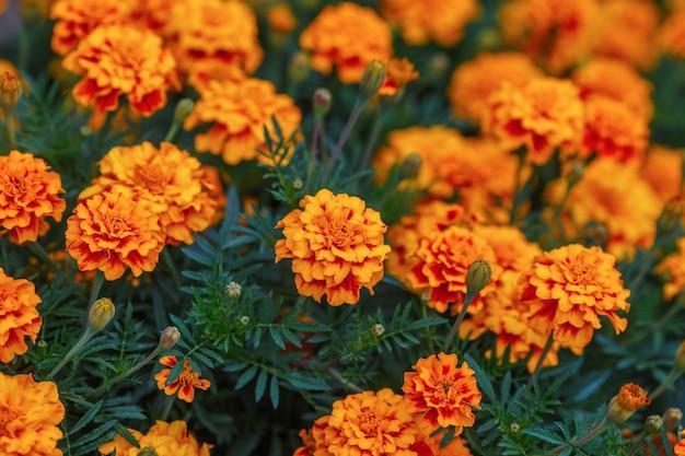 Il tagete arancio fiorisce in giardino, superficie verde