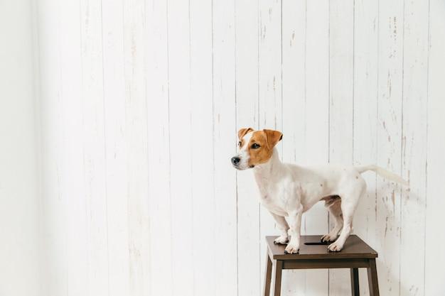 Il terrier di jack russell sulla sedia posa contro la parete di legno bianca