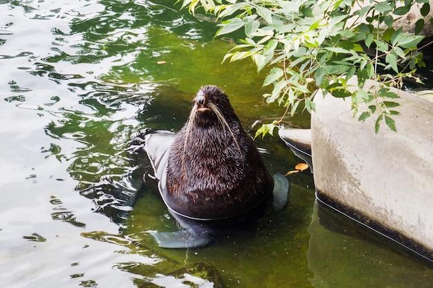 Il tricheco si siede nell'acqua lo zoo russia di mosca.