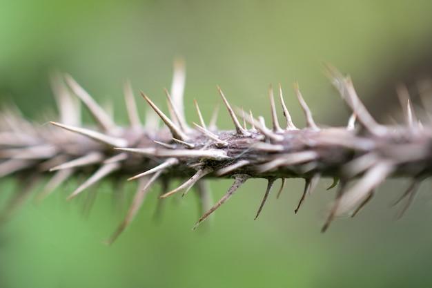 Il tronco di una pianta molto pungente. le spine spinose sulla pianta.