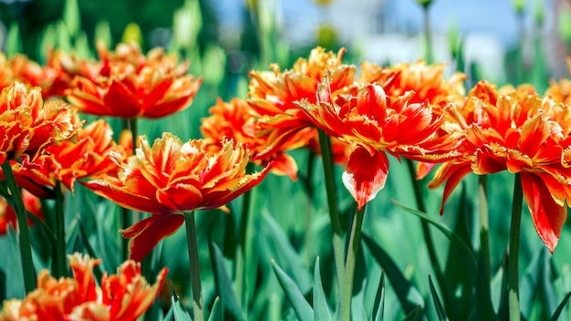 Il tulipano rosso-arancio variopinto fiorisce su un'aiola nel parco della città.