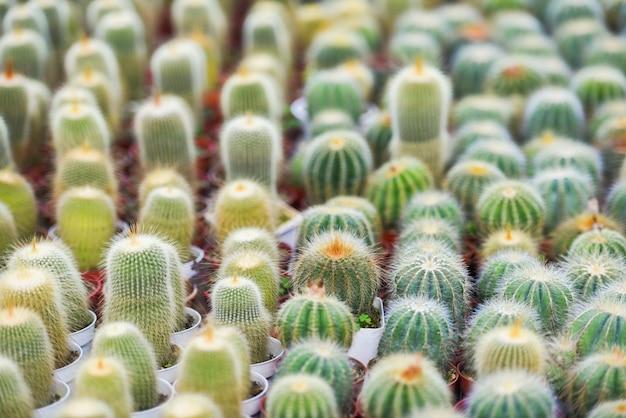 Il vaso in miniatura del cactus decora nel giardino - vari tipi di mercato di cactus o fattoria di cactus