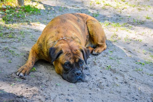 Il vecchio cane di wrestling riposa sulla riva del lago