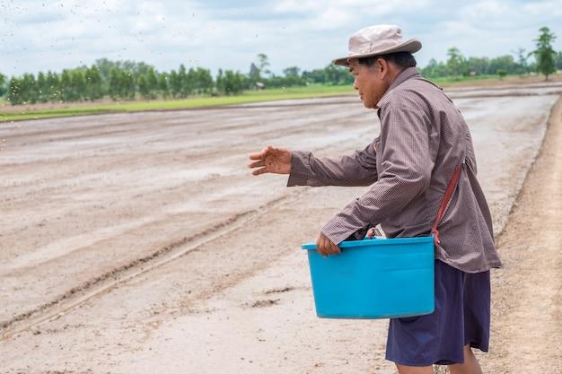 Il vecchio uomo asiatico del coltivatore sta lanciando la risaia delle piantine in un campo di riso.