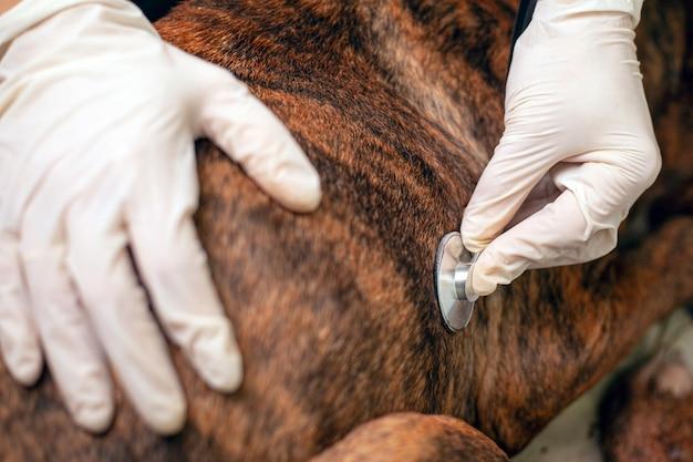 Il veterinario ascolta il battito del cuore di un cane. il medico applica uno stetoscopio a un animale domestico.