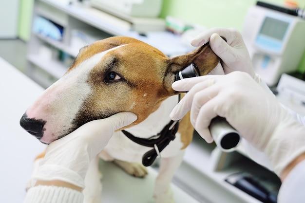 Il veterinario controlla le orecchie o l'udito del cane pitbull terrier con l'aiuto di un otoscopio