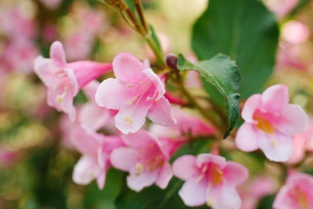 Il weigela rosa fiorisce il primo piano su un ramo nel giardino di estate. messa a fuoco selettiva.