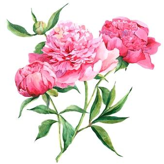Illustrazione botanica dell'acquerello delle peonie rosa
