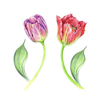 Illustrazione dei tulipani realistici dell'acquerello sui gambi