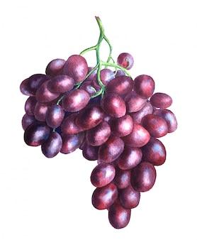Illustrazione dell'acquerello del ramo d'uva dell'annata isolato su sfondo bianco