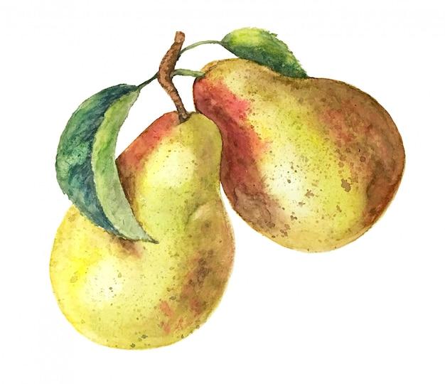 Illustrazione dell'acquerello dell'annata del ramo di pera dell'acquerello isolato su sfondo bianco