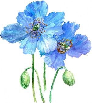 Illustrazione dell'acquerello di papaveri azzurri isolato su sfondo bianco.