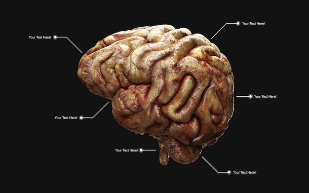 Illustrazione medicamente 3d del cervello umano nella vista laterale isolata.