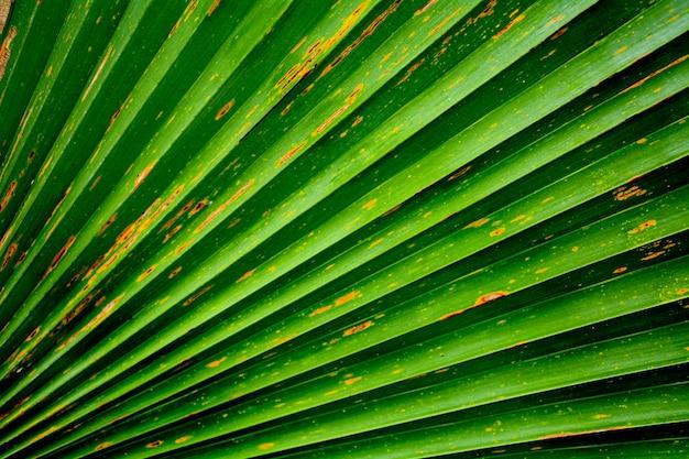 Immagine astratta di foglia di palma verde per lo sfondo.