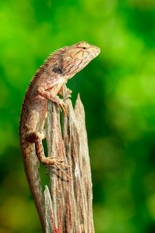 Immagine del camaleonte marrone sui ceppi. rettile. animale.