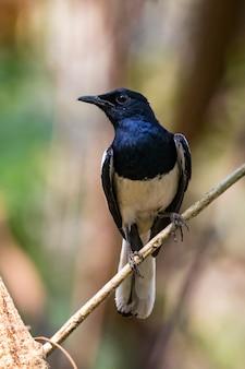 Immagine dell'uccello sul ramo sulla natura. gazza orientale robin (copsychus saularis)