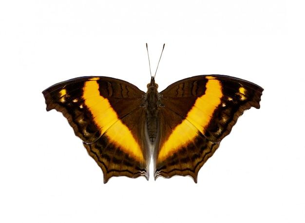 Immagine della farfalla del lurcher (yoma sabina vasuki) isolata su fondo bianco