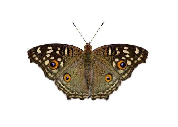Immagine della farfalla della pansé di limone (junonia lemonias lemonias) isolata su fondo bianco