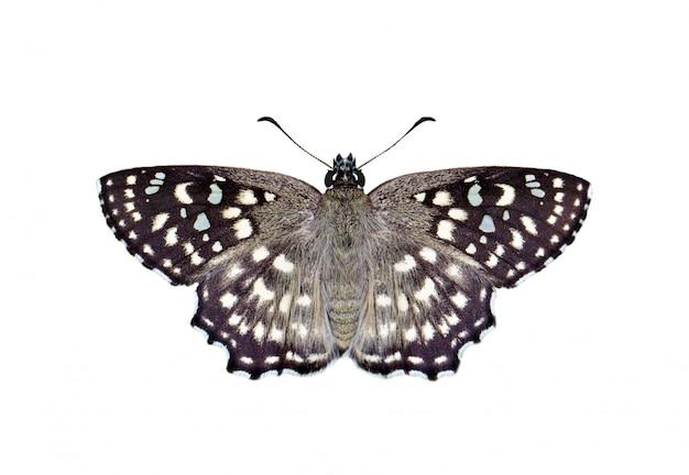Immagine della farfalla di angolo macchiato (agama di caprona) isolata su fondo bianco