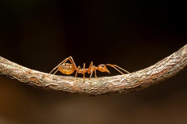 Immagine della formica rossa (oecophylla smaragdina) sul ramo. insetto. animale.