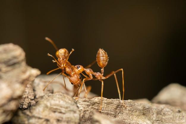 Immagine della formica rossa (oecophylla smaragdina) sull'albero. insetto. animale.