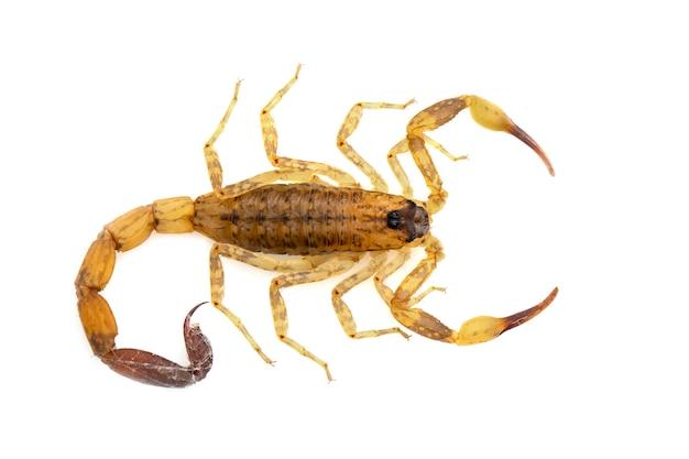 Immagine dello scorpione marrone isolata. insetto. animale.
