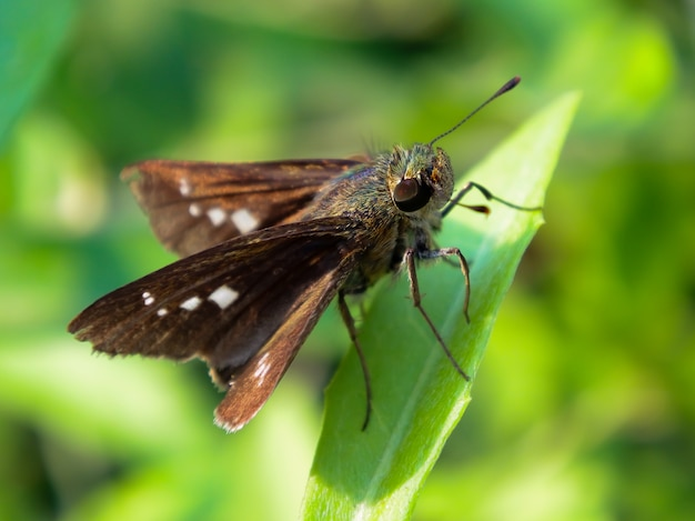 Immagine dettagliata macro di piccolo insetto - comma esperia - si appollaia sulla foglia