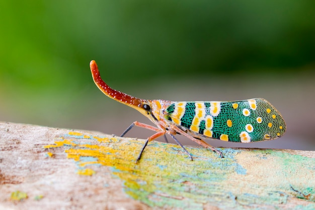Immagine di pyrops candelaria o lanterna vola sulla natura. bug, insetto.