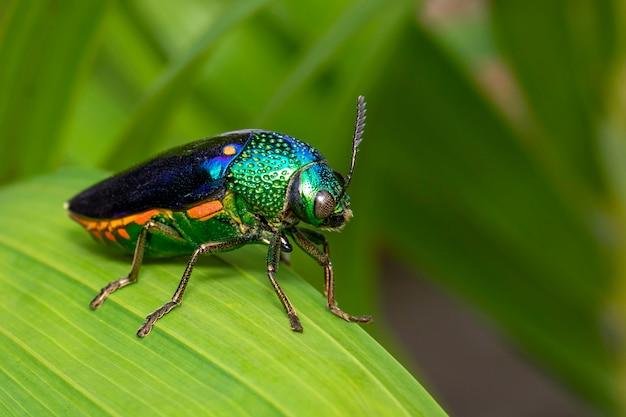 Immagine di scarabeo metallico a zampe verdi o scarabeo gioiello o scarabeo noioso metallico sulle foglie verdi