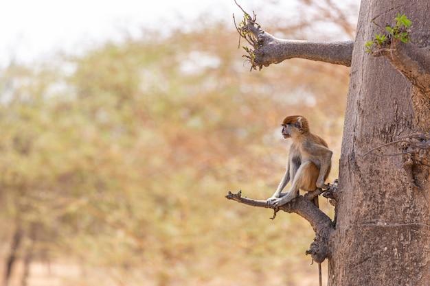 Immagine di un langur marrone che si siede su un ramo di albero nel senegal