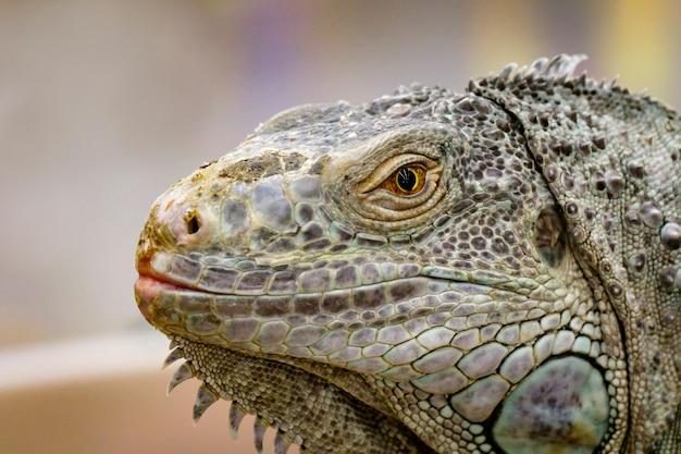 Immagine di una testa di iguana sulla natura. rettile. animali.