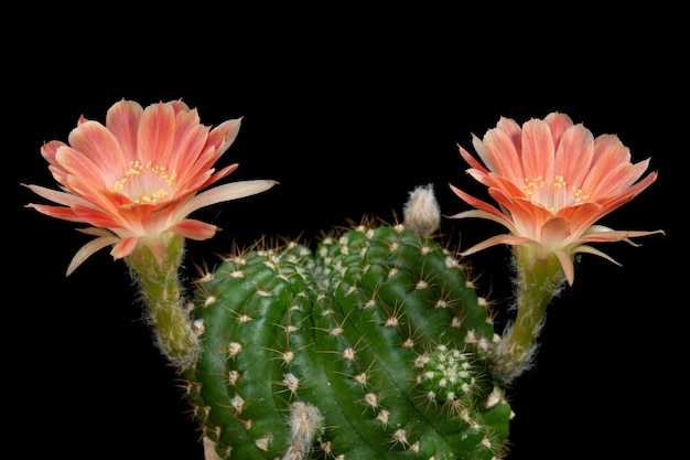 Immagini di fiori di cactus bella fioritura in colorato.