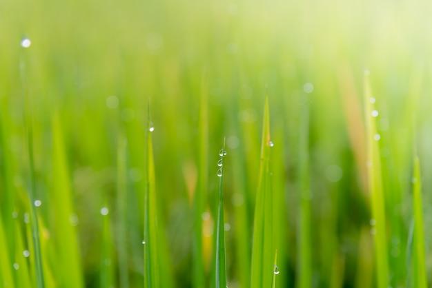 Immagini sfocate di acqua di rugiada sulle foglie di riso con il sole del mattino